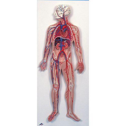 Circulation sanguine G30