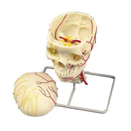 Crâne neurovasculaire W19018