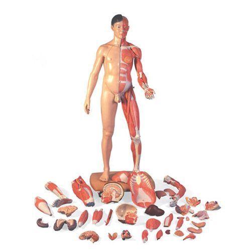 Modèle musculaire bisexué, asiatique, en 39 parties B52