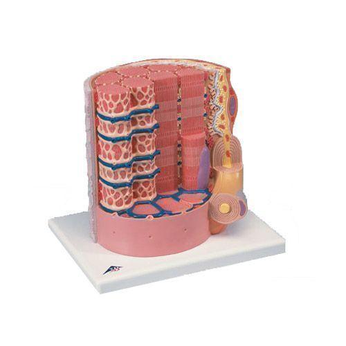 Fibre musculaire 3B MICROanatomy - agrandi 10.000 fois B60