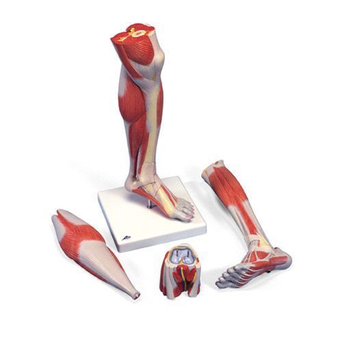 Muscles de la jambe, version luxe, en 3 parties M22