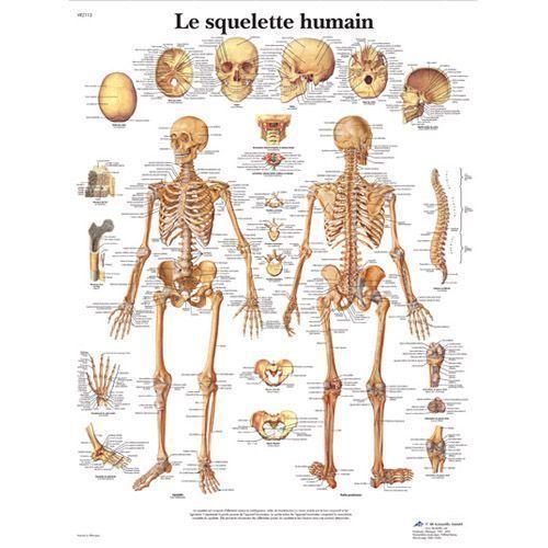La planche anatomique du squelette humain VR2113L