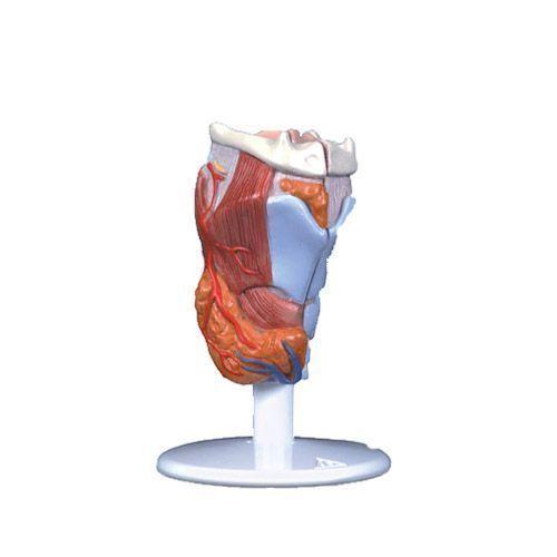 Larynx, en 2 parties G22