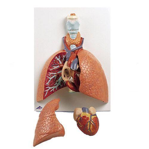 Poumon avec larynx, en 5 parties VC243