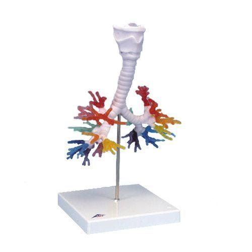CT de l'arbre bronchique avec le larynx G23