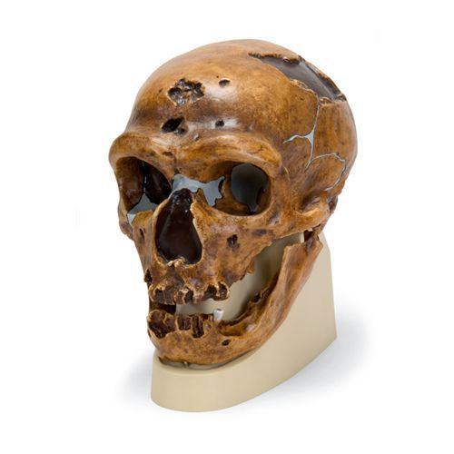 Homme du Néanderthal européen - La Chapelle-aux-Saints VP751/1