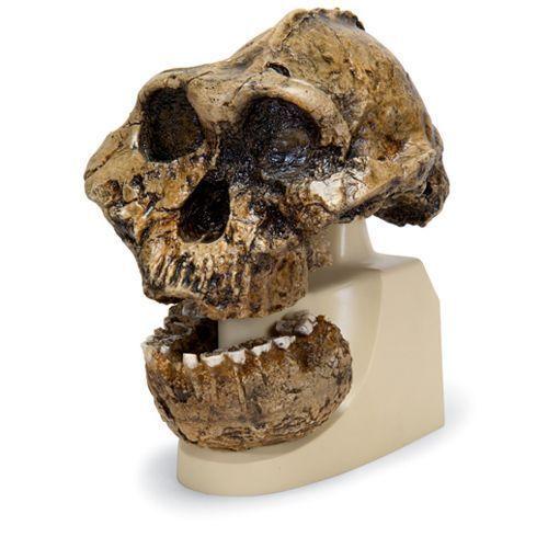 Australopithecus boisei  - KNM-ER 406, Omo L. 7a-125 VP755/1