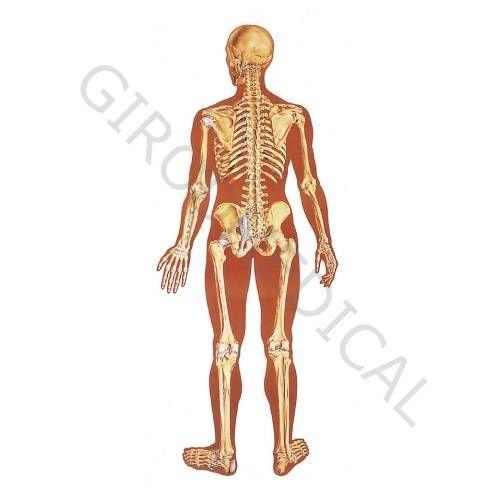 Planche anatomique Le squelette humain, avec ligaments, vue dorsale V2002U