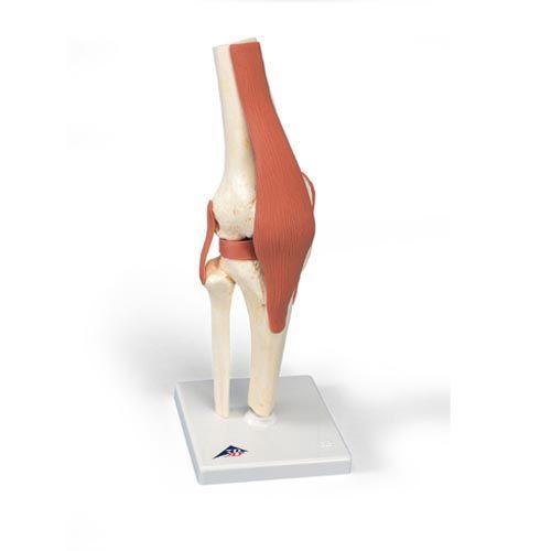 Modèle fonctionnel de luxe de l'articulation du genou A82/1