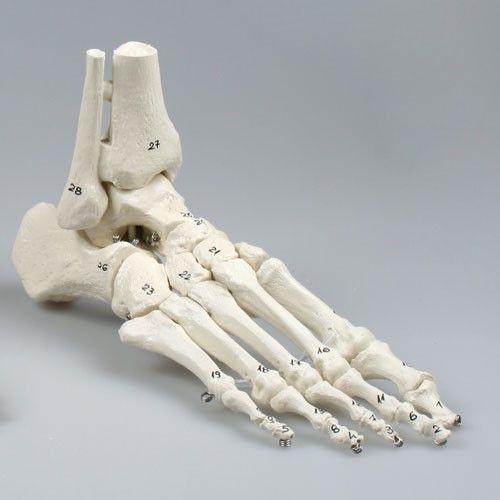 Modèle de squelette du pied avec début de tibia et péroné, souple, numéroté 6057 Erler Zimmer