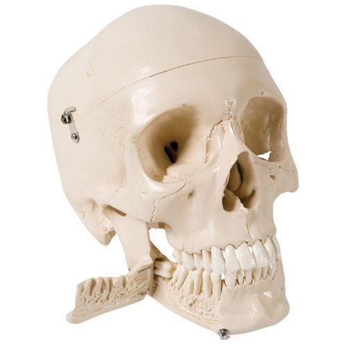 Crâne avec dents pour extraction, en 4 parties W10532