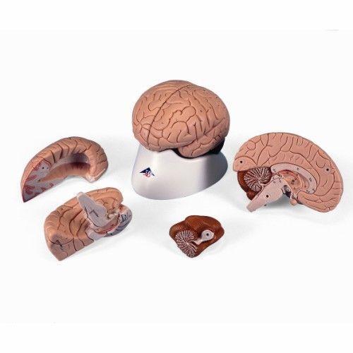 Cerveau en 4 parties C16