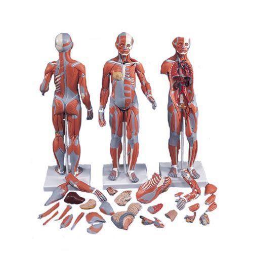 Modèle musculaire bisexué avec organes internes,33 parties B55