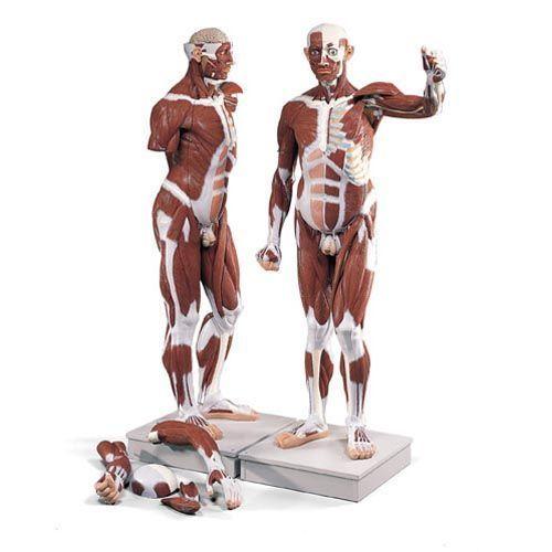 Figure musculaire masculine, grandeur nature, en 37 parties VA01