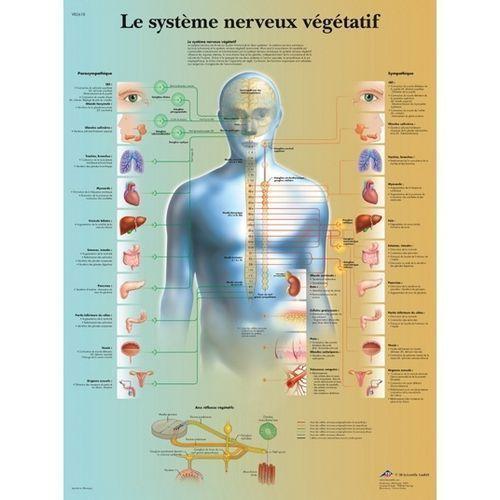 Planche anatomique du système nerveux végétatif VR2610L