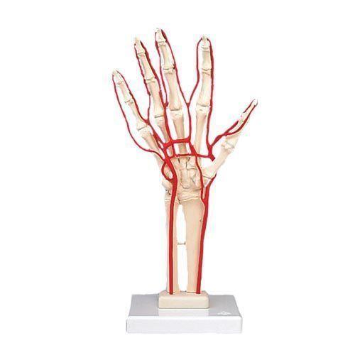 Squelette de la main avec artères M17