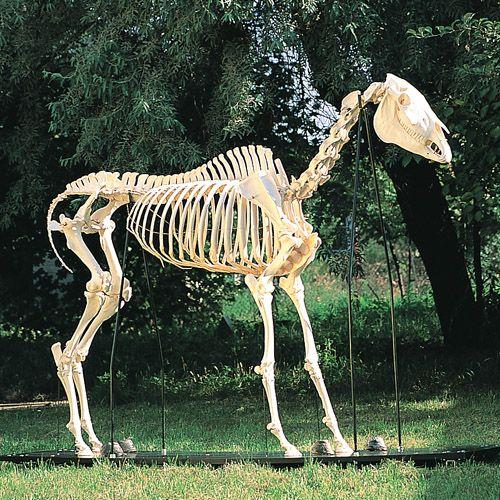 Squelette de cheval T30014