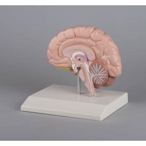 Section droite du cerveau humain C215 Erler Zimmer