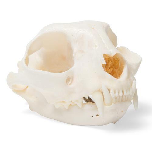 Crâne de chat (Felis catus) T30020