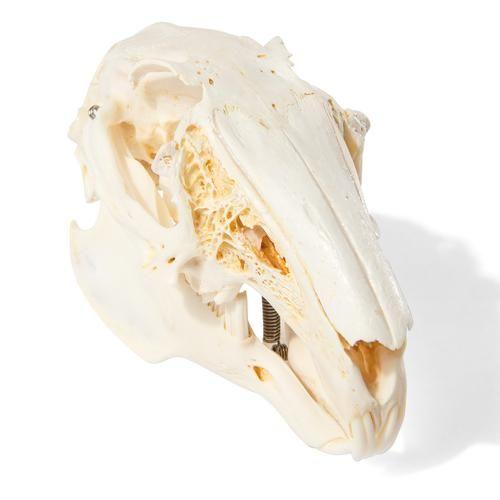 Crâne de lapin T300191 1020987