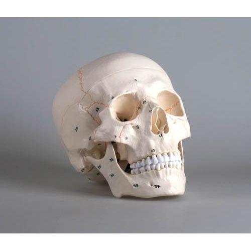 Modèle de crâne en 3 parties numéroté 4505 Erler Zimmer