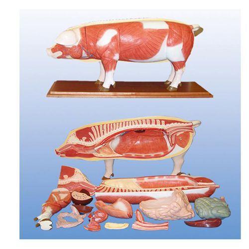 Modèle anatomique de cochon
