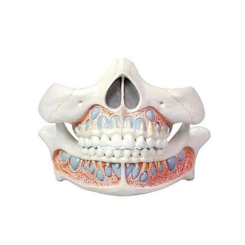 Modèle de dents de bébé Mediprem