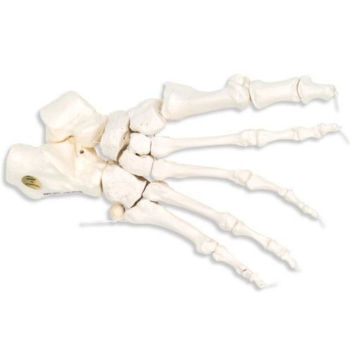 Squelette du pied montage libre sur fil de nylon, droit A30/2R