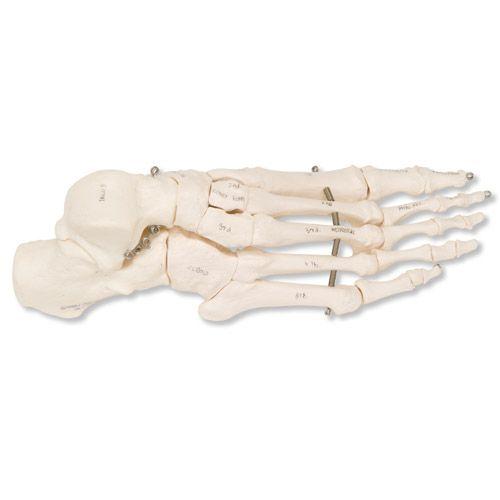 Squelette du pied sur fil de fer, droit A30R