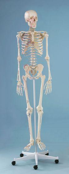 """Squelette """"Arnold"""" avec peinture des muscles - sur roulettes - 3008 Erler Zimmer"""