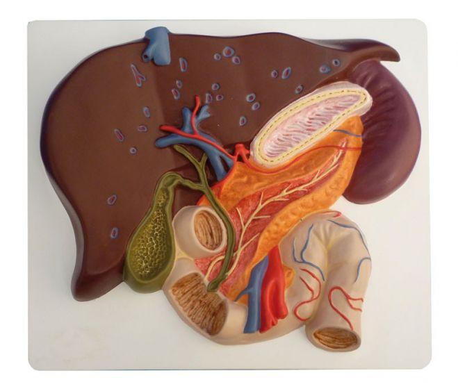 Coupe du foie avec vésicule biliaire pancréas et duodénum K440 Erler Zimmer