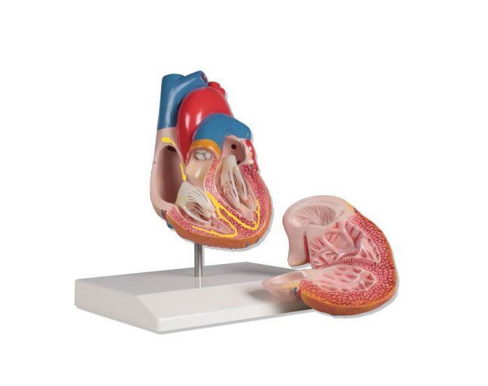 Modèle du cœur en 2 parties avec système de conduction G207 Erler Zimmer
