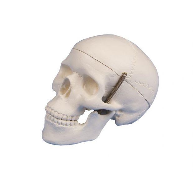 Modèle de crâne miniature en 3 parties 4650/1 Erler Zimmer