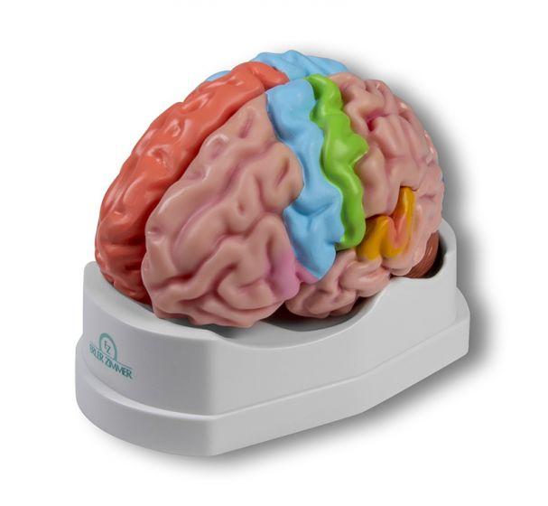 Cerveau en 5 parties avec régions et fonctions  C922 Erler Zimmer