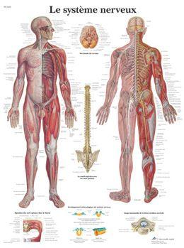 Planche anatomique Le système nerveux VR2620UU