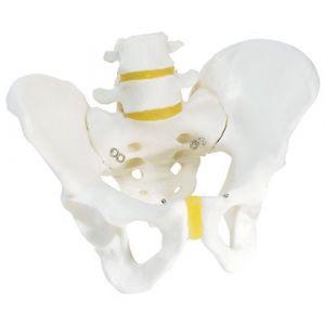 Squelette du bassin, masculin A60 3B Scientific