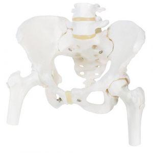 Squelette du bassin, féminin, avec moignons de fémur A62 3B Scientific