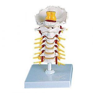 Colonne vertébrale cervicale A72 3B Scientific