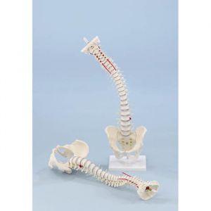 Colonne vertébrale standard avec le prolapsus et le bassin Erler Zimmer