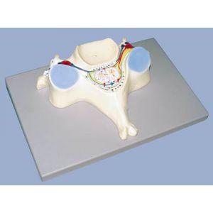 5ème vertèbre cervicale grossie 7 fois A182 Erler Zimmer