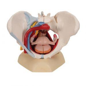 Bassin féminin avec ligaments, vaisseaux, nerfs, plancher pelvien et organes, en six pièces 3B Scientific H20/4