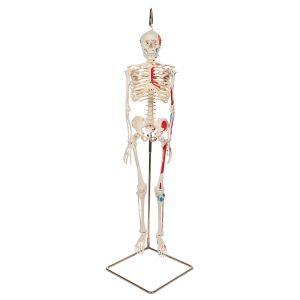 Mini-squelette Shorty avec muscles peints, suspendu A18/6