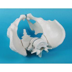 Squelette du bassin masculin 4056 Erler Zimmer