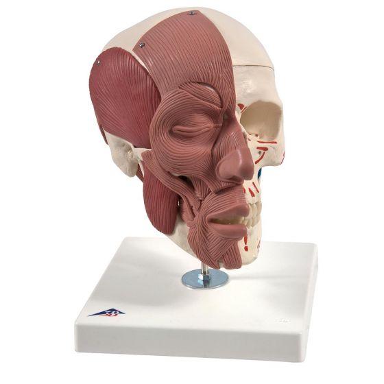 Crâne avec muscles faciaux