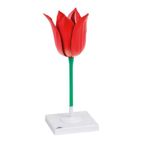 Modèle de Tulipe (Tulipa gesneriana) 3B Scientific T210101