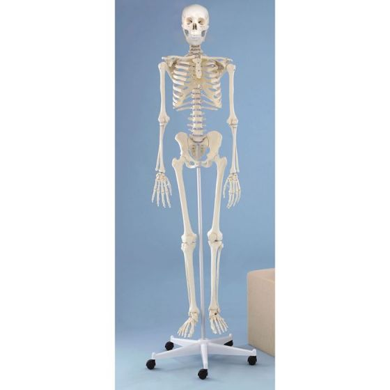Squelette classique Willi sur roulettes 3001 Erler Zimmer