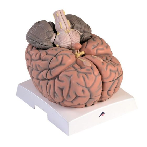 Cerveau géant, agrandi 2,5 fois, en 14 parties VH409