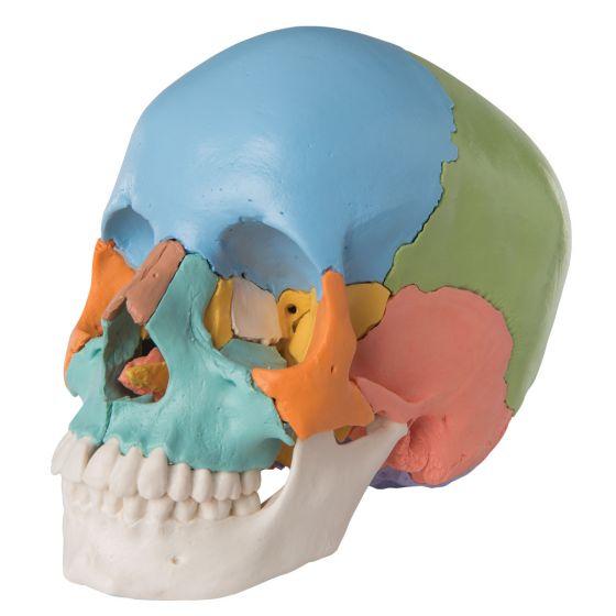 Crâne articulé - version didactique, 22 pièces A291