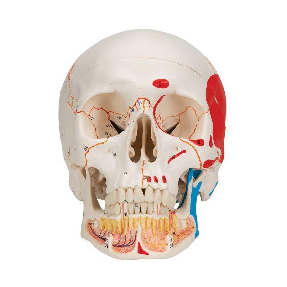 Crâne classique avec mandibule peinte, en 3 parties A22/1