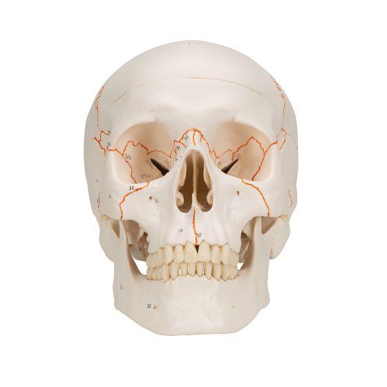 Crâne classique avec représentation des sutures A21